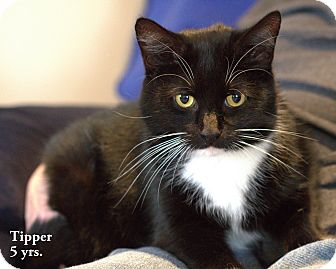Domestic Shorthair Cat for adoption in Gaithersburg, Maryland - Tipper