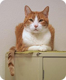 Domestic Shorthair Cat for adoption in Colorado Springs, Colorado - Ellicat