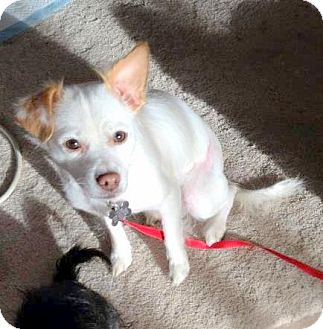 Rat Terrier Mix Dog for Sale in Boise, Idaho - Paninni