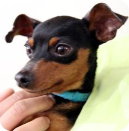 Miniature Pinscher Dog for Sale in Kettering, Ohio - Donner