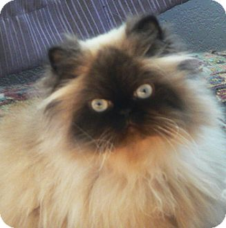 Himalayan Cat for Sale in Vacaville, California - Kabira