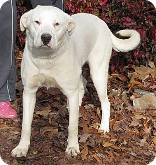 Dogo Argentino/Labrador Retriever Mix Dog for Sale in Oakland, Arkansas - Frosty