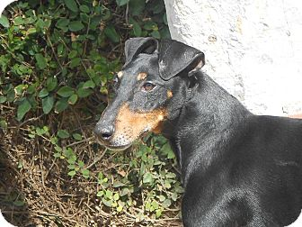 Manchester Terrier Mix Dog for Sale in Chula Vista, California - Dominic
