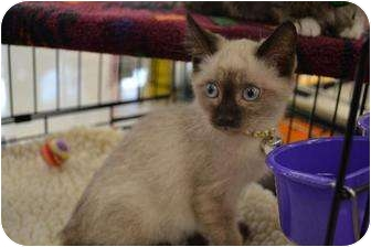 Siamese Kitten for adoption in Chino, California - Pretty Boy