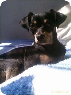 Miniature Pinscher/Terrier (Unknown Type, Small) Mix Dog for adption in Los Angeles, California - Mosos
