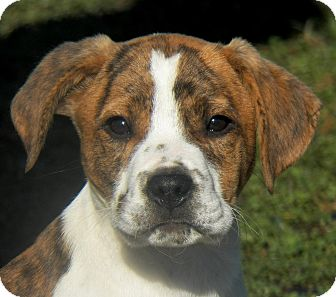 Labrador Retriever/Boxer Mix Puppy for Sale in Sussex, New Jersey - Ceasar