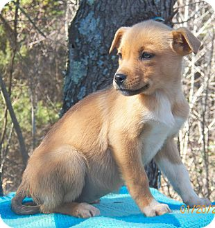 Shepherd (Unknown Type)/Labrador Retriever Mix Puppy for Sale in Sussex, New Jersey - Ariel