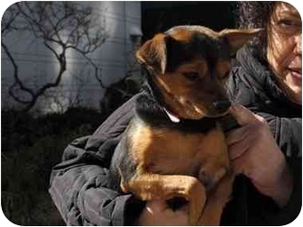 Miniature Pinscher/Chihuahua Mix Dog for Sale in New York, New York - Cherry