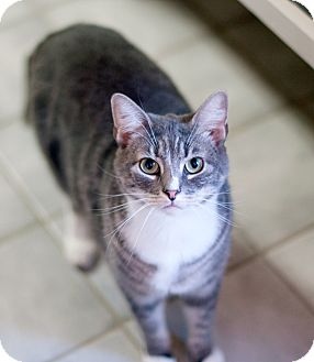 Domestic Shorthair Cat for adoption in New Haven, Connecticut - Freddie