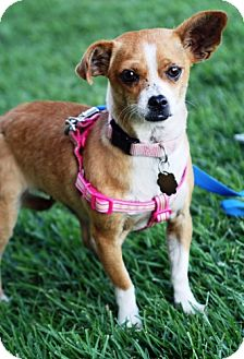 Chihuahua Mix Dog for adption in Simi Valley, California - Little Girl