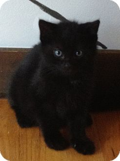 Domestic Shorthair Kitten for Sale in Salem, New Hampshire - Winston&Siblings