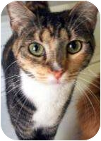Domestic Shorthair Cat for adoption in Mesa, Arizona - Mauers