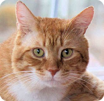Domestic Shorthair Cat for adoption in Morganton, North Carolina - Sir Galahad