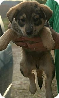 Shepherd (Unknown Type)/Retriever (Unknown Type) Mix Puppy for Sale in Danbury, Connecticut - Pecan ADOPTION PENDING