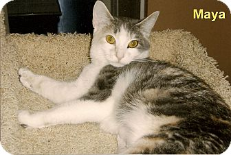 Domestic Shorthair Cat for adoption in Medway, Massachusetts - Maya