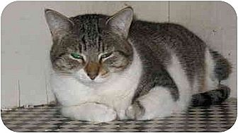 Domestic Shorthair Cat for adoption in Tempe, Arizona - Marley