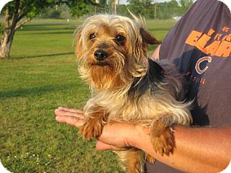 Yorkie, Yorkshire Terrier Dog for Sale in Westport, Connecticut - Tatum