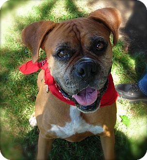 Boxer Dog for Sale in El Cajon, California - Lola