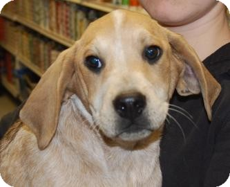 Pointer/Hound (Unknown Type) Mix Puppy for Sale in Brooklyn, New York - Watson