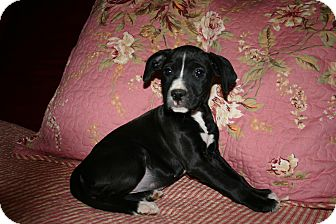 Labrador Retriever/American Bulldog Mix Puppy for Sale in Glastonbury, Connecticut - Annie~meet me~