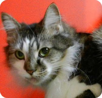 Maine Coon Cat for adoption in Carrollton, Georgia - SC - Mary Jane