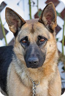 German Shepherd Dog Dog for Sale in Los Angeles, California - Karissa von Kelbra