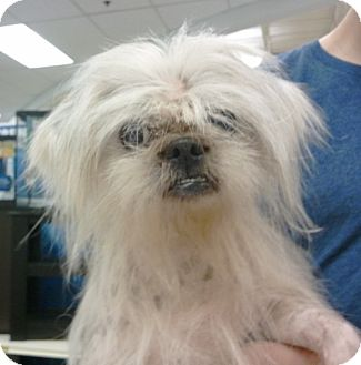 Shih Tzu/Chinese Crested Mix Dog for adption in Sanford, Florida - Telly