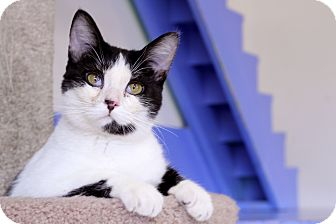 Domestic Shorthair Cat for Sale in Chicago, Illinois - Stuffy Walton