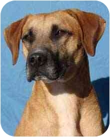 Boxer Mix Dog for adption in Canon City, Colorado - Tank CI 1768