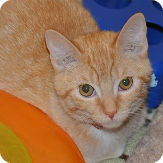Domestic Shorthair Kitten for Sale in Foothill Ranch, California - Courtney