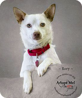 Cattle Dog Mix Dog for Sale in Phoenix, Arizona - Rory