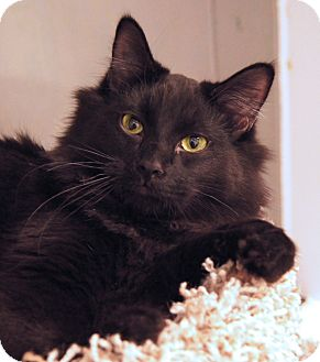 Domestic Mediumhair Kitten for Sale in Colorado Springs, Colorado - Jet