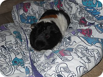 Guinea Pig for adoption in johnson creek, Wisconsin - fonzie