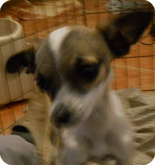 Chihuahua/Dachshund Mix Dog for Sale in dewey, Arizona - Pansy