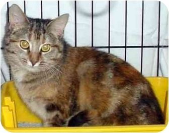 Domestic Shorthair Cat for adoption in Danville, Kentucky - Lovely Lily