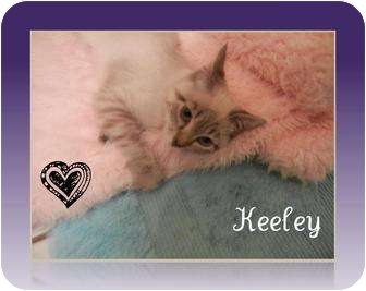 Domestic Mediumhair Kitten for Sale in Mobile, Alabama - Keeyle