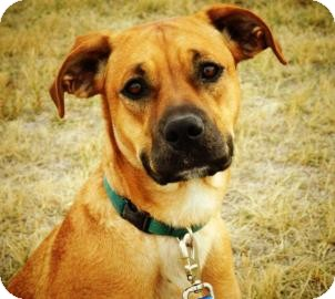 Boxer/Labrador Retriever Mix Dog for Sale in Cheyenne, Wyoming - Skyla