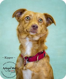 Corgi Mix Dog for Sale in Phoenix, Arizona - Kipper