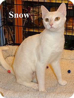 Domestic Shorthair Cat for Sale in Bentonville, Arkansas - Snow