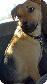 Shepherd (Unknown Type) Mix Dog for Sale in Phoenix, Arizona - Cisco