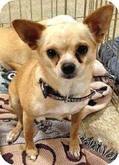 Chihuahua Mix Dog for adption in Mesa, Arizona - Li Li