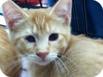 Domestic Shorthair Kitten for adoption in La Canada Flintridge, California - Tawny
