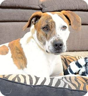 Boxer/Pointer Mix Dog for adption in Joliet, Illinois - Cody