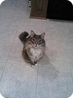 Domestic Longhair Cat for Sale in Laguna Woods, California - Oscar