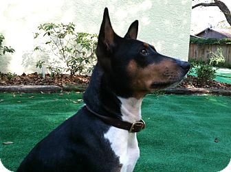 Basenji Dog for Sale in Seminole, Florida - King