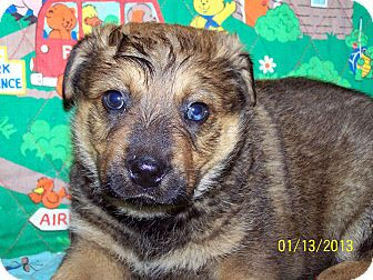 Australian Cattle Dog/German Shepherd Dog Mix Puppy for Sale in Sherman, Connecticut - Keith Betty's Dog