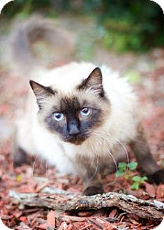 Siamese Cat for adoption in San Antonio, Texas - Sienna