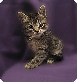 Domestic Shorthair Kitten for Sale in Richmond, Virginia - Henry