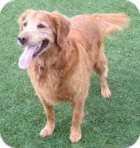 Golden Retriever Mix Dog for Sale in Scottsdale, Arizona - Ruka