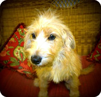 Terrier (Unknown Type, Medium) Mix Dog for Sale in Gadsden, Alabama - Hannah